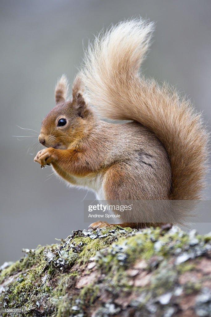 Female red squirrel (Sciurus vulgaris)