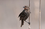A female red-winged blackbird that came up from it's nest in the reeds.