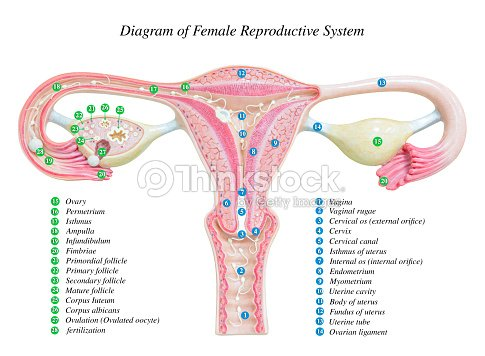 female reproductive system image diagram stock photo. Black Bedroom Furniture Sets. Home Design Ideas