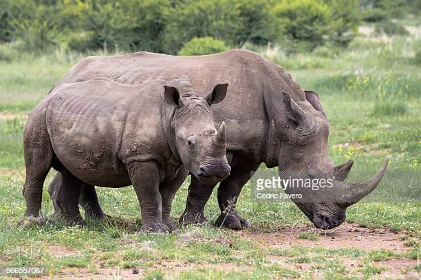 Female Rhino and Calf