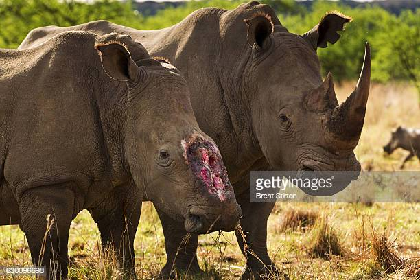 A female rhino who 4 months ago survived a brutal dehorning by poachers who used a chainsaw to remove her horns and a large section of bone in this...