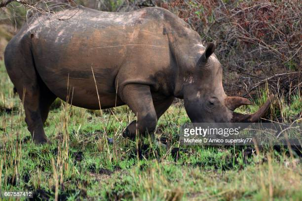 Female rhinoceros grazing in the savannah