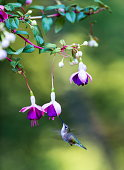 Female Ruby Throated Hummingbird feeding from a hybridized fuchsia in a boreal forest in north Quebec Canada.