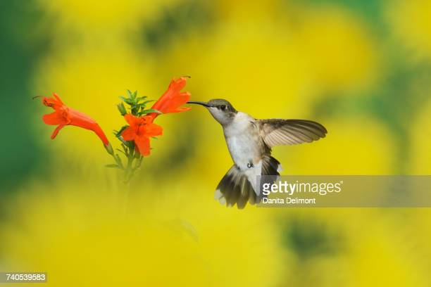 Female Ruby-throated Hummingbird (Archilochus colubris) feeding on Cape honeysuckle (Tecoma capensis) flower, Hill Country, Texas, USA