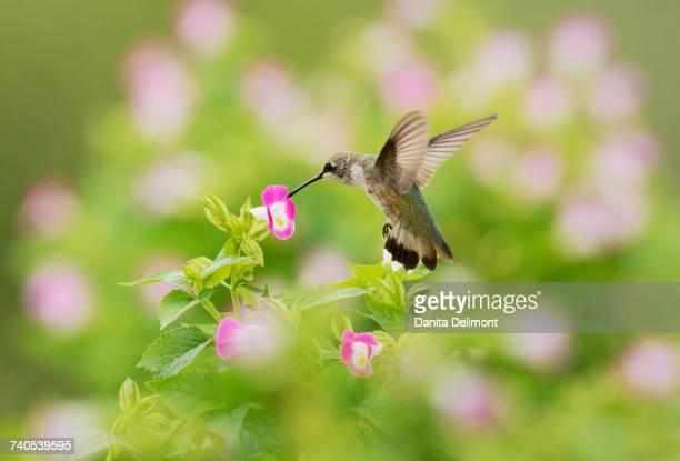 Female Ruby-throated Hummingbird (Archilochus colubris) feeding on Wishbone flower (Torenia fournieri), Hill Country, Texas, USA