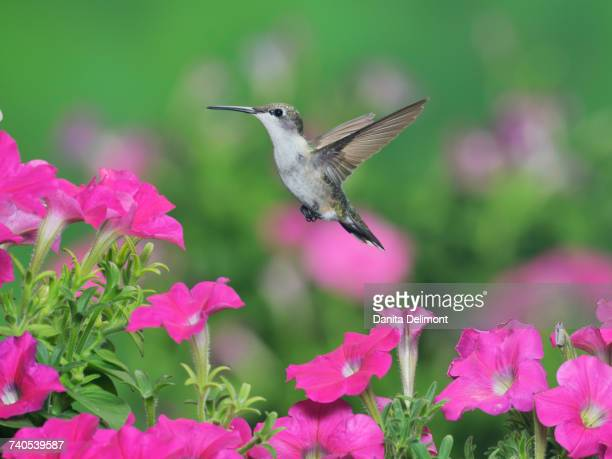 Female Ruby-throated Hummingbird (Archilochus colubris) flying over Petunia flowers, Hill Country, Texas, USA