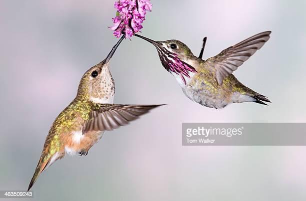 Female rufous hummingbird and male calliope