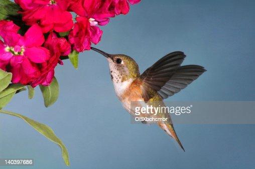 Female Rufous Hummingbird (Selasphorus rufus)