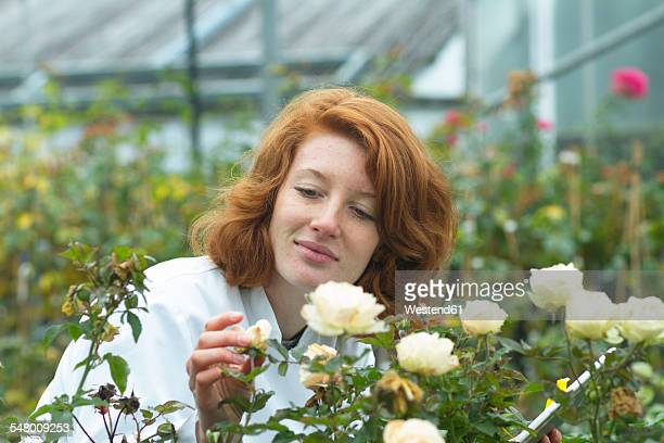 Female scientist controlling roses in a greenhouse
