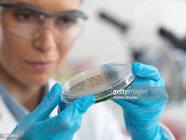 Female scientist examining micro organisms in petri dish