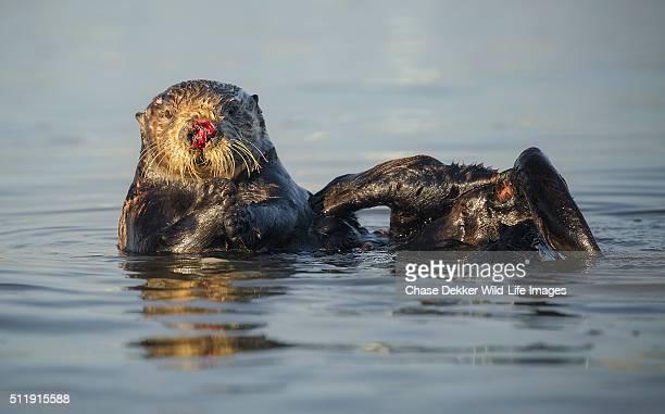 Female Sea Otter