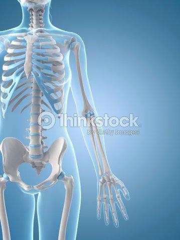 Esqueleto Femenino De Brazo Foto de stock   Thinkstock