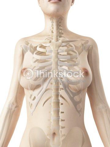 Esqueleto Femenino De Tórax Foto de stock   Thinkstock