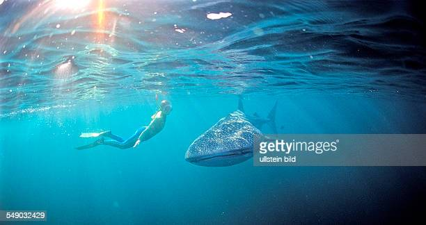 Female snorkeler swims with Whale shark Rhincodon thypus Australia Western Australia Ningaloo Reef Indian Ocean