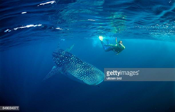 Female snorkeler swims with Whale shark Rhincodon thypus Maldives Indian Ocean