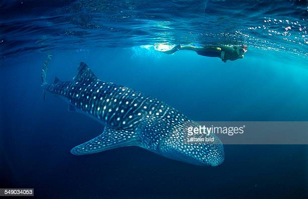 Female snorkeler swims with Whale shark Rhincodon thypus Palau Micronesia Indian Ocean