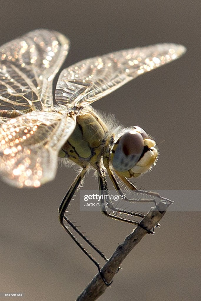 A female Southern Darter dragonfly, Sympetrum Meridionale, is pictured in kibbutz Netiv Haasara, in southern Israel, along the Mediterranean coast on October 24, 2012. AFP PHOTO / JACK GUEZ