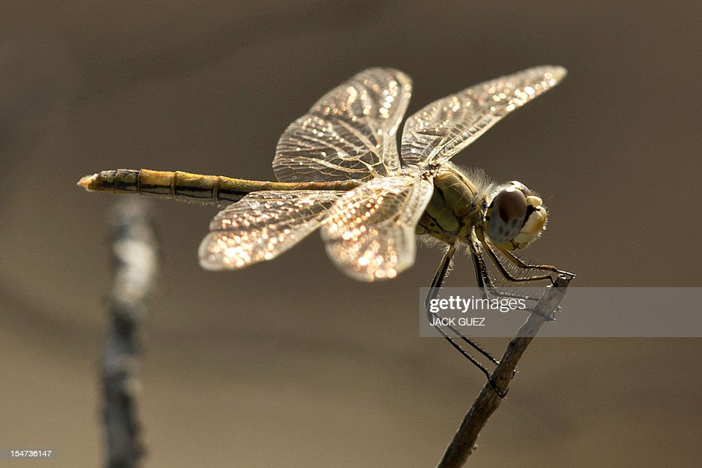 A female Southern Darter dragonfly, Sympetrum Meridionale, is pictured in kibbutz Netiv Haasara, in southern Israel, along the Mediterranean coast on October 24, 2012.