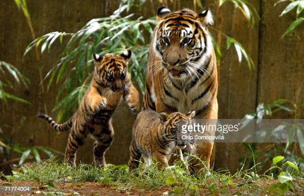 Female Sumatran tiger 'Soyono' keeps an eye on two of her three new cubs during their public debut at the Smithsonian National Zoological Park...