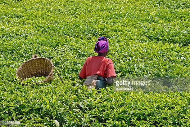 Weibliche teapicker in Ruanda