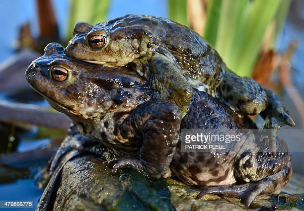 A female toad carries a male to a pond in Beeskow eastern Germany on March 20 2014 Mild temperatures caused an early migration of the amphibians to...