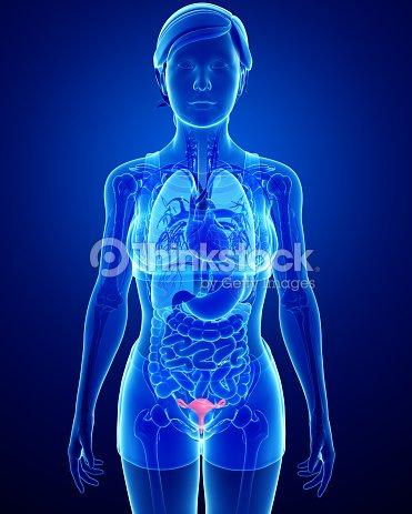 Female Uterus Anatomy Stock Photo Thinkstock