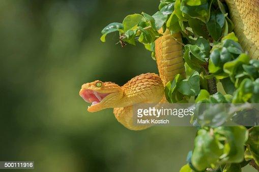 Female Venomous Bush Viper Showing Fangs