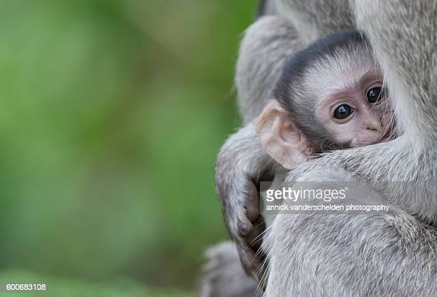 Female vervet monkey and baby.