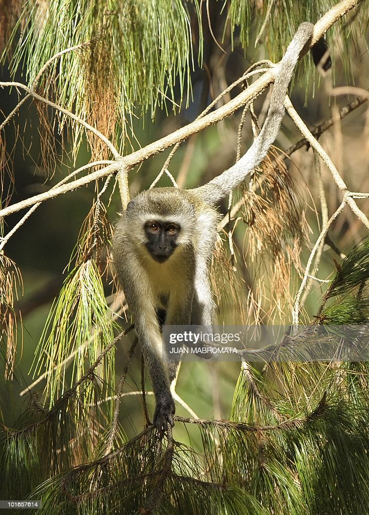 A female vervet monkey walks along a branch of a pine tree in the town of Balgowan in KwaZulu-Natal province near Paraguay's base camp during the South Africa 2010 World Cup, on June 6, 2010.