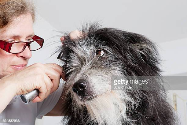 Female vet examining dogs ear in clinic