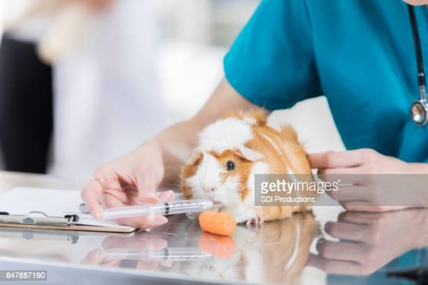 Female vet uses syringe to feed sick guinea pig