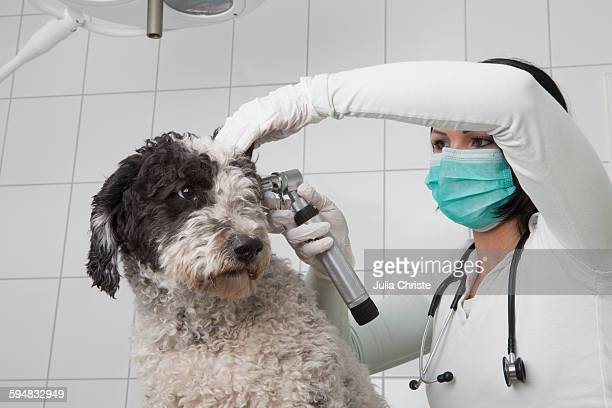 Female veterinarian examining dogs ear with otoscope in clinic