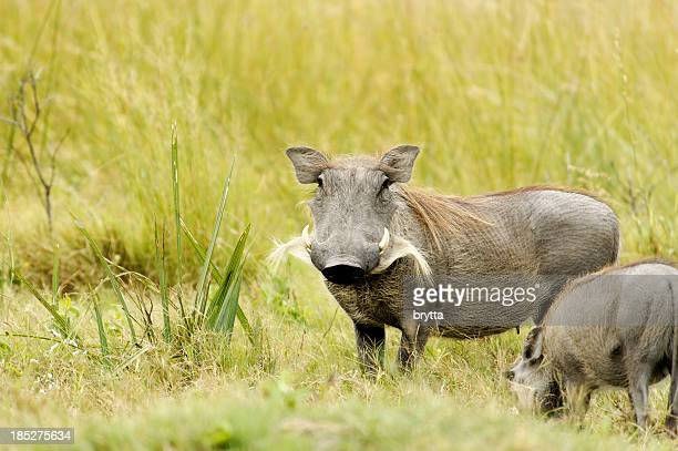 Female warthog with youngster  ( Phacochoerus aethiopicus) ,Okavango Delta ,Botswana