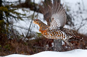 Female Western Capercaillie (Tetrao Urugallus) During Lek In April/May. It is is the largest member of the grouse family. Found across Europe and Asia, this spectacular ground-living forest bird is re