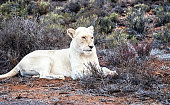 Close-up of a female  white lion in the Sanbona Wildlife Reserve, located in the Little Karoo , in South Africa.
