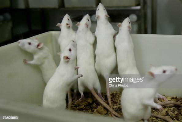 Female white rats stand in a basin at an animal laboratory of a medical school on February 16 2008 in Chongqing Municipality China Over 100000 rats...