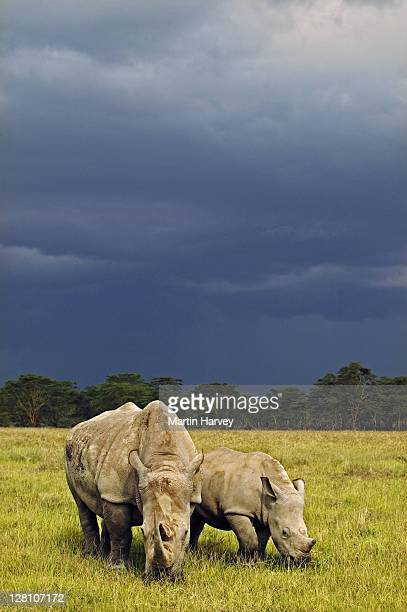 Female White Rhino, Ceratotherium simum, with calf and storm clouds in the background. Lake Nakuru National Park Kenya. Dist. Localised: Southern and East Africa