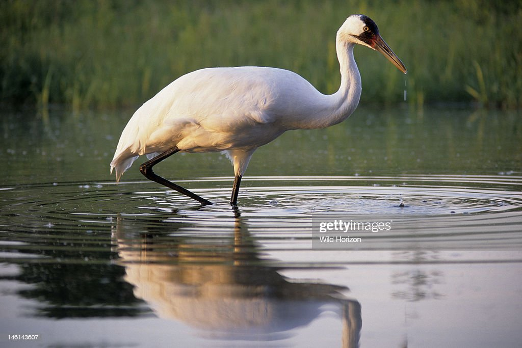 Female whooping crane named Oobleck hunting in a pond at the International Crane Foundation, Grus americana, International Crane Foundation, Baraboo, Wisconsin, USA,