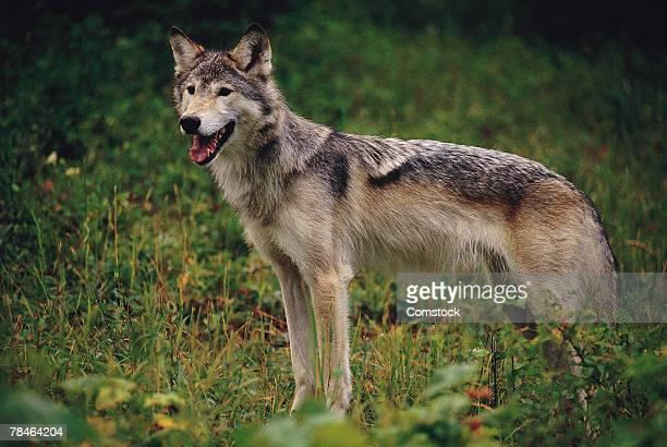Female wolf , Montana