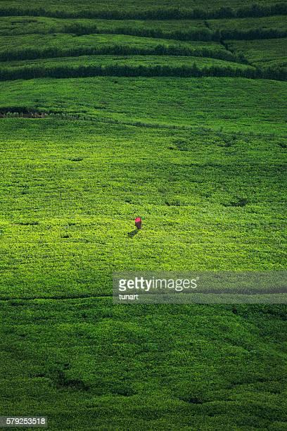 Female Worker in a Tea Plantation of Sri Lanka