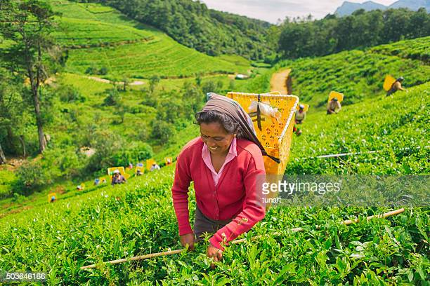 Female Worker in Tea Plantations of Sri Lanka