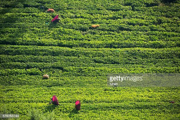 Female Worker in Tea Plantations of Sri Lanka