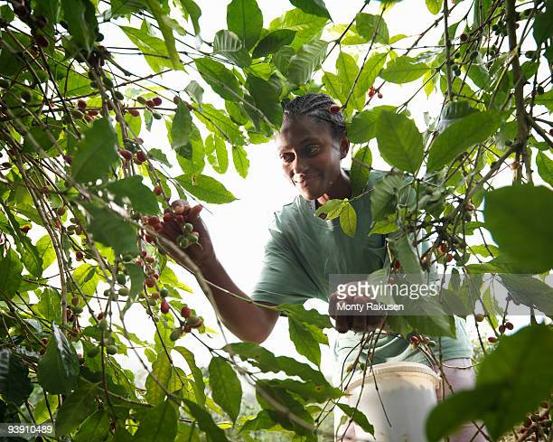 Female Worker Picking Coffee Beans