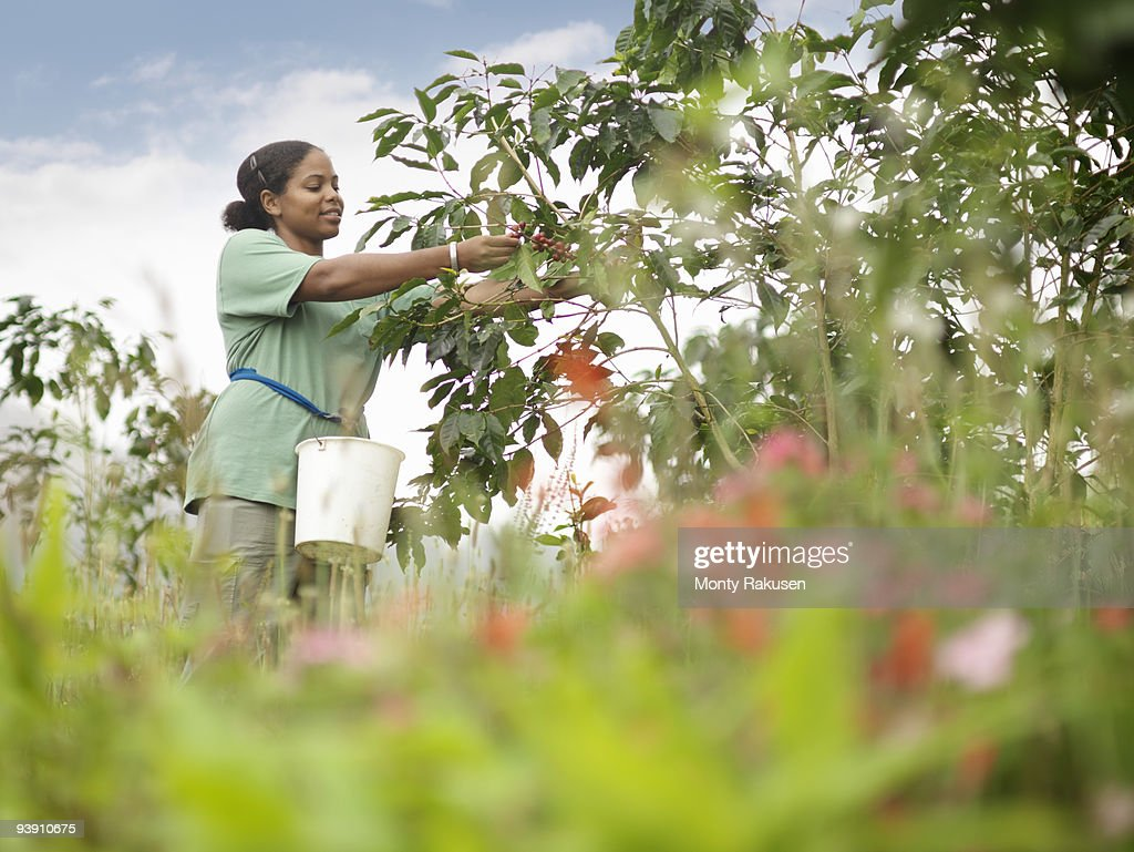 Female Worker Picking Coffee Beans : Stock Photo