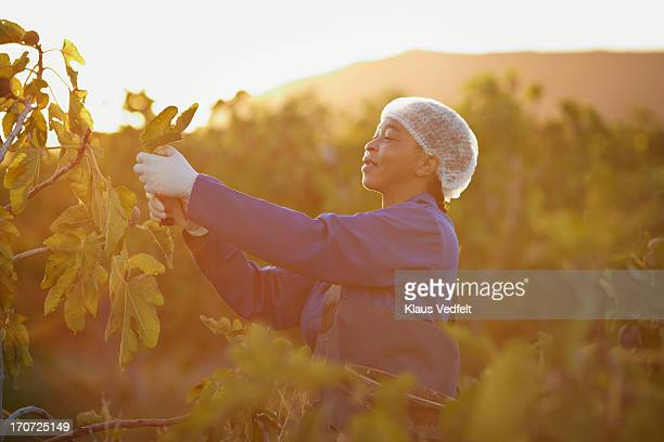 Female worker picking figs at fruit farm