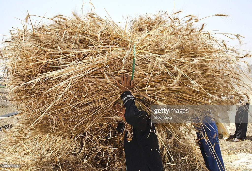Female workers carry bundles of wheat harvested from a field in Monofeya, Egypt, on Sunday, May 19, 2013. Egypt will curb wheat imports by 31 percent to 8 million metric tons in 2012-13, still enough to make it the world's biggest buyer, the U.S. Department of Agriculture estimates. Photographer: Shawn Baldwin/Bloomberg via Getty Images