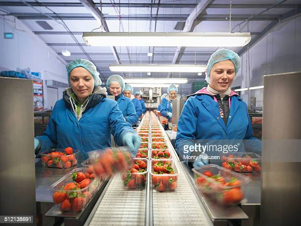 Female workers packing fresh strawberries into trays on fruit farm