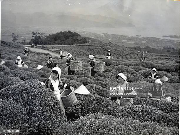 Female workers pick tea on May 1 1954 in Shimizu Shizuoka Japan Mt Fuji is recommended to be registered as World Heritage site