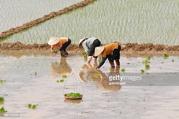 女性作業員を植えるライスベトナム