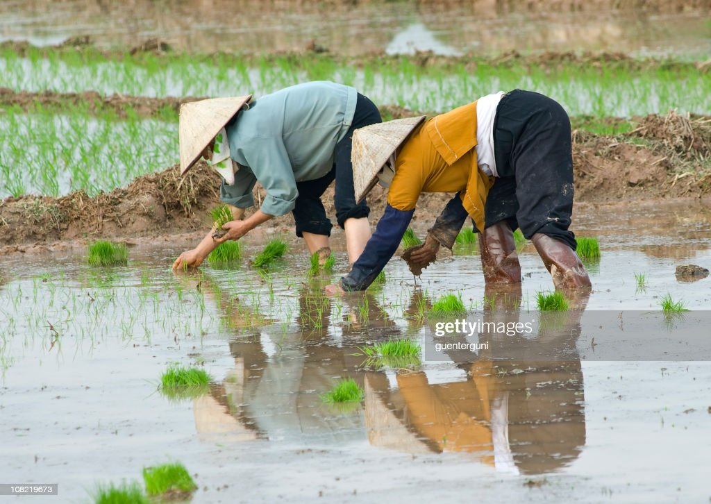 Female workers planting rice : Stock Photo